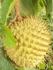 Biriba - ROLLINIA DELICIOSA  - 5 Seeds - Vegetables/ Fruits