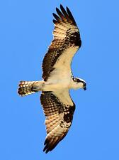 """Outer Banks North Carolina - """"Osprey on the Hunt"""" COLOR Picture 8x10 Beach Birds"""