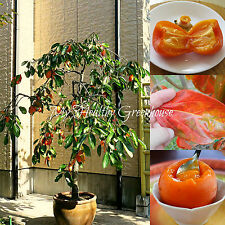 SEEDS – Self-pollinating Semi-dwarf Saijo Asian Persimmon – Food of the Gods!