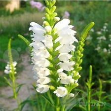 Obedient plant Perennial Flower seed 50 seeds obedience Physostegia virginiana