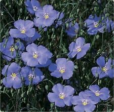 Blue Flax (Linum Perenne)- 500 Seeds