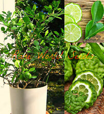 BUSH Type KAFFIR LIME Tree indoor outdoor GROWS TO 2-4' in pot! CITRUS Seeds.