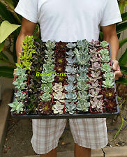 20 Assorted Rosette type Succulent Plants - 2 inch pot !! Great for wedding!!