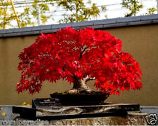 10 Pcs Rare Imported Japanese Bonsai Maple Tree Seeds Limited Quantity Good Seed