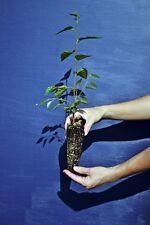 BETULA UTILIS alveolo Betulla dell'Himalaya pianta Himalayan birch plant