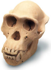 Chimpanzee Skull Antique Finish 0208 New By Skullduggery