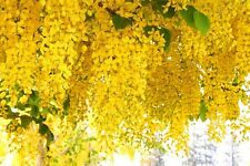 Golden Shower Tree Seed Rare Yellow Flower Cassia Fistula Tropical Tree Fresh