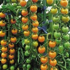Sun Gold Tomato 15 High Quality Seeds
