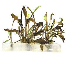 Cryptocoryne wendtii Bronze Live Aquarium Plant In Vitro Tissue Culture