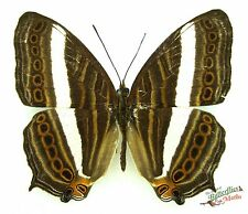Indonesian map butterfly Cyrestis strigata SET x1 TS A- M art real nymphalidae