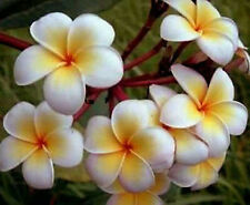 Plumeria Seeds/Flowers/Ladavan/Fresh 19 seeds
