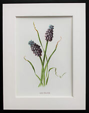 Grape Hyacinth - Mounted Antique Botanical Flower Print 1880s by Hulme