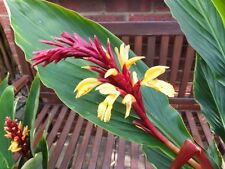Cautleya Spicata 10 Seeds, Hardy Himalayan Ginger, Chinese Butterfly Ginger
