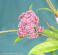 """HOYA  PUBICALYX  'PINK SILVER'  THREE ROOTED  PLANTS SHIPPED IN A 4"""" POT!"""