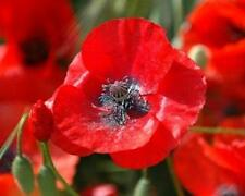 Red Corn Poppy Seeds Papaver rhoeas Approximately 175 Seeds Comb/Ship
