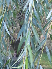 """WILLOW Tree Cutting WITH ROOTS for planting about 10""""+"""