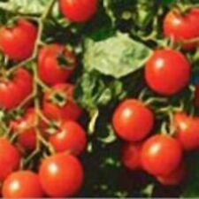 Heirloom SMALL RED CHERRY Tomato 200 SEEDS High Yields Clusters of Tomatoes