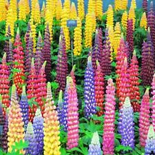 100pcs MIXED RUSSELL LUPINE Lupinus Polyphyllus Flower Seed Home Garden L7S