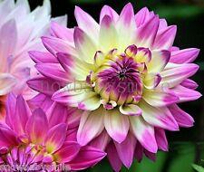 200 Dahlia Pinnata Seeds Dinnerplate Mixed Color Garden Cut Flowers Bulk COMB SH
