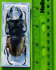Wollastons Stag Beetle Odontolabis wollastoni 60mm Male FAST SHIP FROM USA