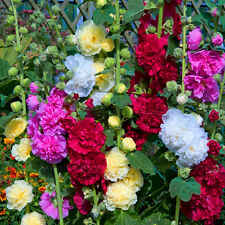 100Pc New Hollyhock Summer Carnival Colorful Chaters Flower Seeds Garden Decor