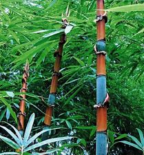 Cephalostachyum pergracile (Tinwa Bamboo) Extremely rare - 10 Fresh seeds