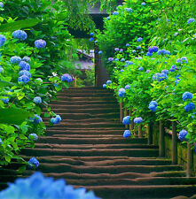 Gorgeous Hot 10 Blue Hydrangea Flower Seeds Easy to Plant Ideal Garden Present