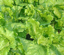LETTUCE LOOSELEAF BLACK SEEDED SIMPSON ORGANIC Lactuca Sativa - 400 Bulk Seeds