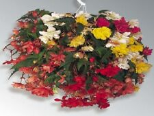 15 Seeds Begonia Illumination Mix Pelleted FLOWER SEEDS illumination