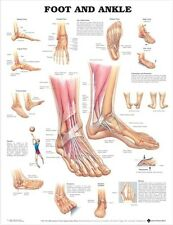 ANATOMY OF FOOT & ANKLE (LAMINATED) POSTER (66x51cm) ANATOMICAL CHART HUMAN BODY