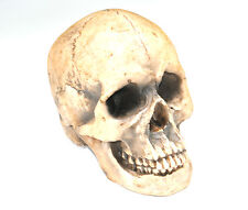 Large Faux Taxidermy Human Skull - Life Size Human Anatomy - Resin Home Decor -