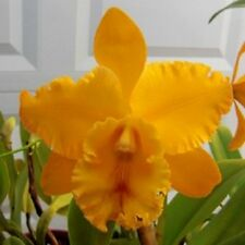 Orchid Cattleya BLC Liah Her Glory Her-Ta bloom Exotic Tropical Plant