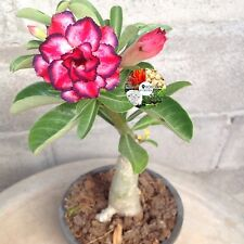 "Adenium Obesum, Desert Rose, Impala Lily ""Mayah"" Red Flower Grafted Plants Fresh"