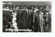 Guillemotts On The Pinnacles Farne Islands Real Photograph Tarbit Seahouse RA