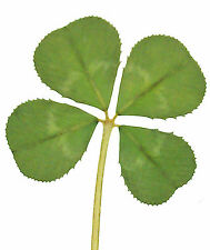 GENUINE REAL 4 FOUR LEAF CLOVER WEDDING FAVOUR WITH CERTIFICATE OF AUTHENTICITY