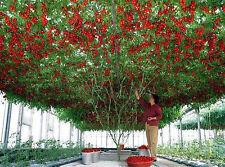 5 graines de TOMATE ITALIAN TREE (Climbing Trip - Italian Tree Tomato Seeds)