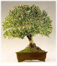 16 Semillas Olea Europea (Olivo Europeo) Código 960