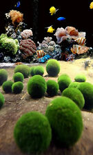 Nano Marimo x 5 pcs -  Live Plant for Salt Water Aquarium Coral Sea Weed Rock