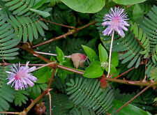 100 MIMOSA / SENSITIVE PLANT Schrankia Uncinata Flower Seeds + Gift & Comb S/H