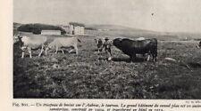 AUBRAC TROUPEAU DE BOVINS IMAGE 1948 PRINT
