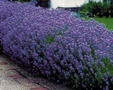 English Lavender Lavandula angustifolia Seeds -Fragrant