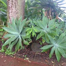 Agave attenuata / Plante Succulente - lot de 10 graines