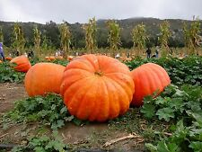 ZUCCA GIGANTE  atlantic giant  15 semi seeds graines