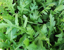 1200 Graines BIO de Roquette cultivée  - Eruca sativa - Salade, mesclun