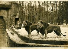 """LIONS (JARDIN ZOOLOGIQUE EXPO COLONIALE 1931)"" Photo origin. G. DEVRED/Agce ROL"