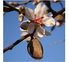 8 FRESH Bitter Almond Prunus Dulcis Seeds Organic - Ideal rootstock for grafting