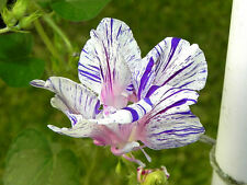 Blue Tiger Hige Ipomoea Purpurea Morning Glory 10 Seeds