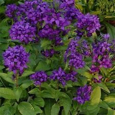 Bellflower- Superba- Campanula Glomerata-  50 Seeds-