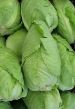 Heirloom Non-GMO CHARLESTON WAKEFIELD Cabbage❋2000 SEEDS❋Large Heads❋Vegetables