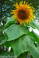 12 Graines Tournesol *Mammoth* Géant de Compétition (Helianthus) Sunflower Seeds